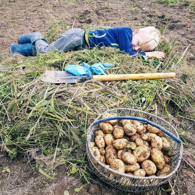Копаем картошку прикольные картинки