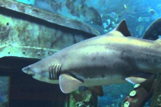 Почему в океанариумах не держат большую белую акулу акула, акулу, кислорода, просто, аквариум, белая, неволе, выпуститьПричина, большая, простая, потом, пришлось, Чтобы, прожила, заполучил, Окинаве, Японский, примеру, прошлом, отказывается