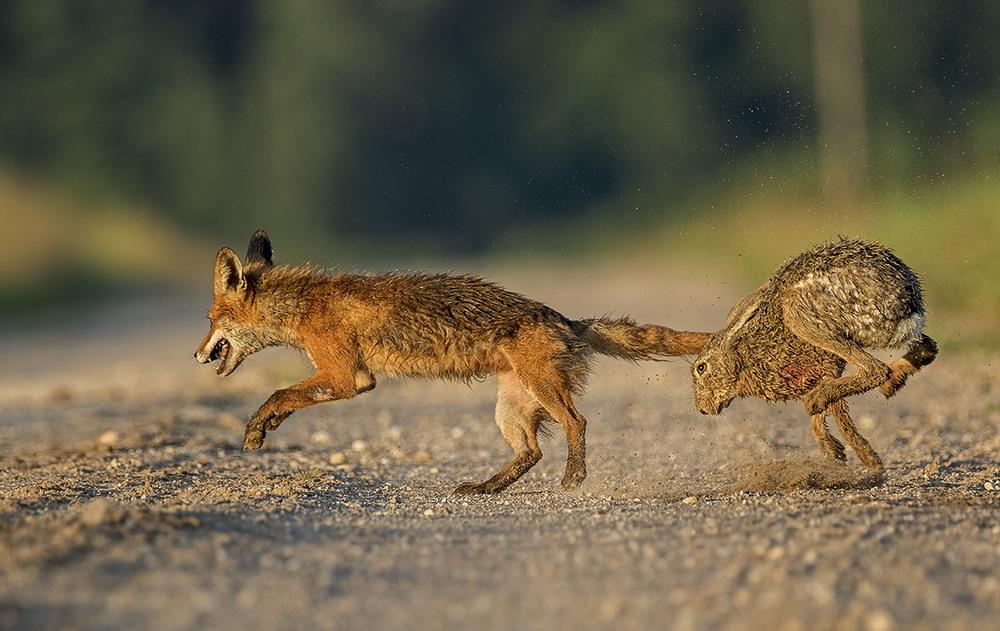 Заяц дал отпор лисе