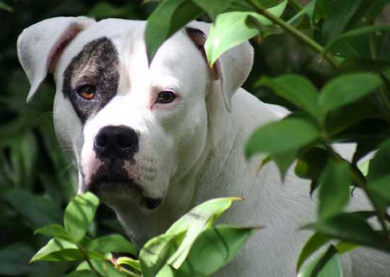 Какие запрещены породы собак в россии