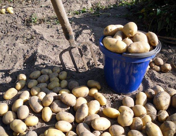 Чтобы картофель после уборки не гнил