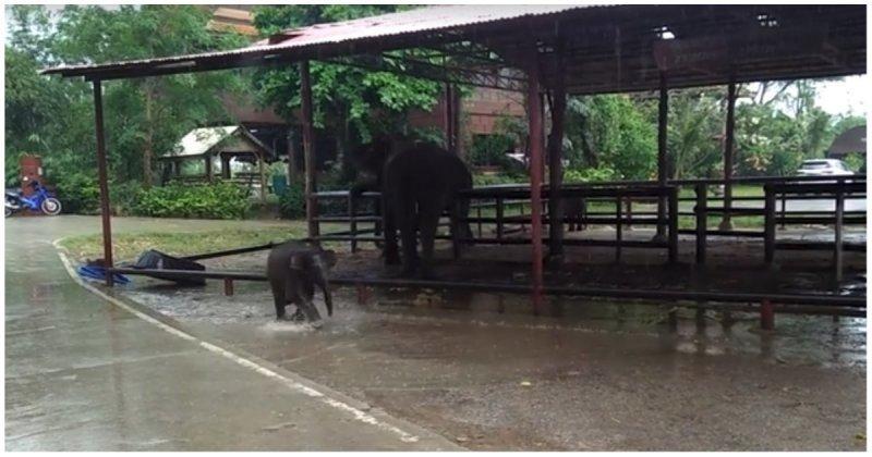 Очаровательный слоненок весело бегает по лужам