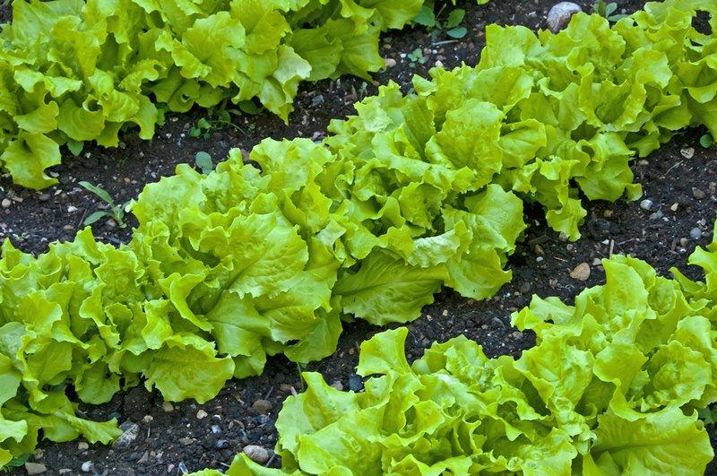 Салат сеем ранней весной!