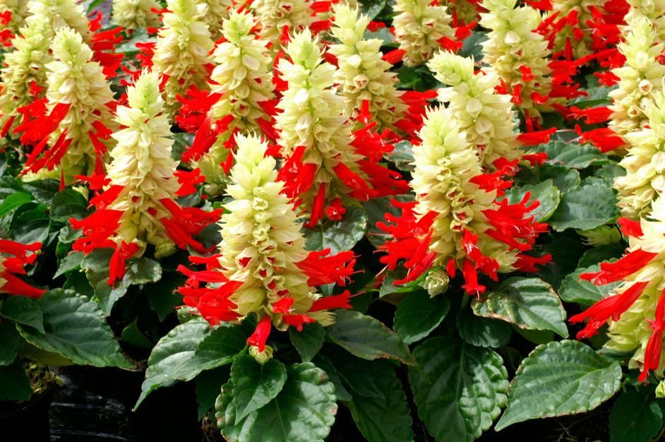 Выращивание рассады сальвии: от посева семян до высадки растений в грунт