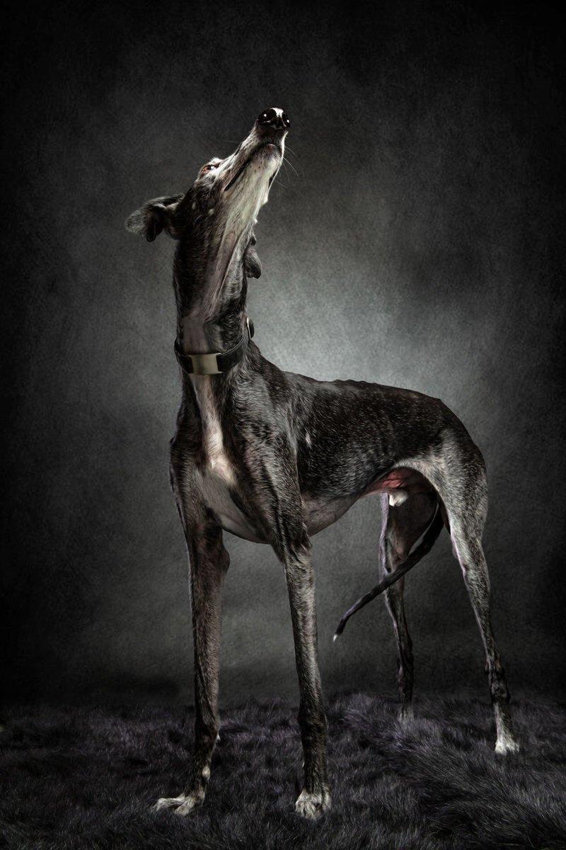 14. Порода, борзая, гальго, животные, испания, собака, спасение, фотография