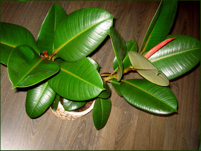 Пять самых лечебных комнатных растений