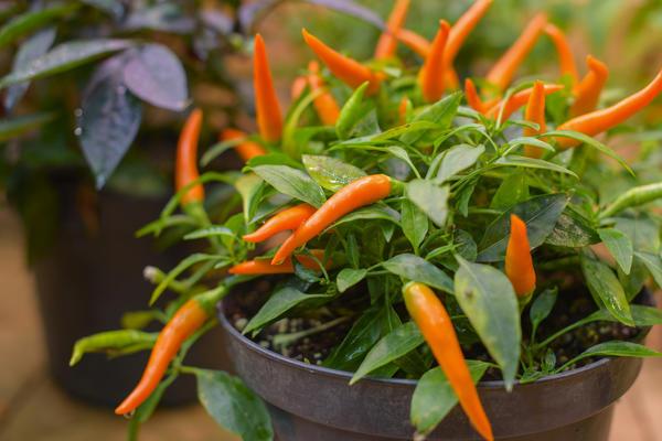 Какие сорта овощей можно выращивать на подоконнике?