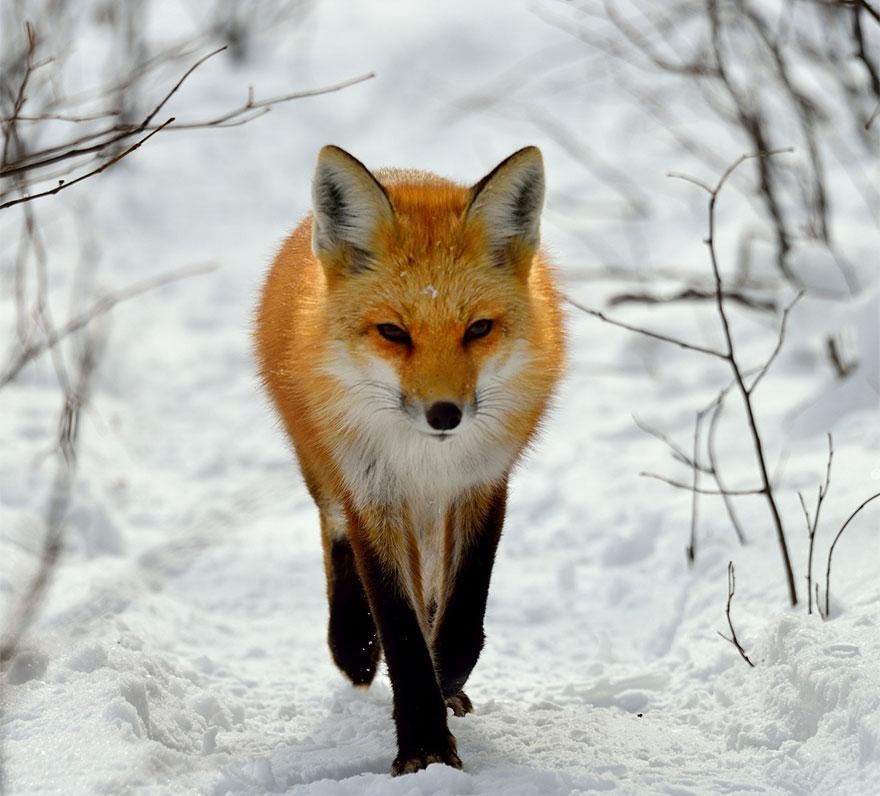 Фотография или картинка лисы