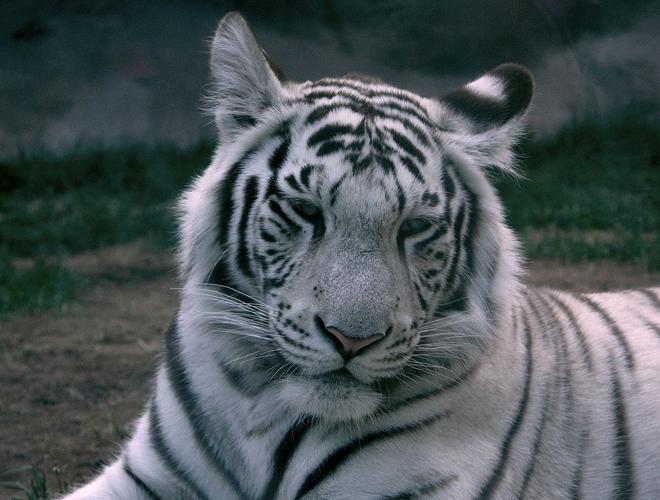 По улицам Палермо бегает бенгальский тигр