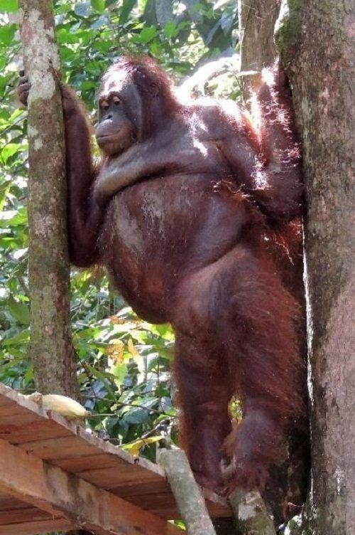 Мужчина занимается сексом с обезьяной