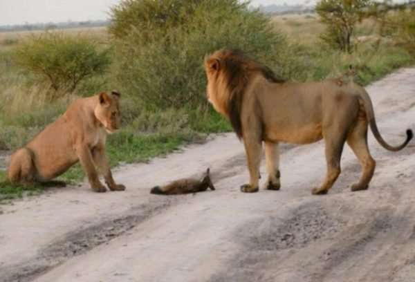 Материнский инстинкт – сила! Грозная львица не дала своему прайду загрызть хромого лисёнка…