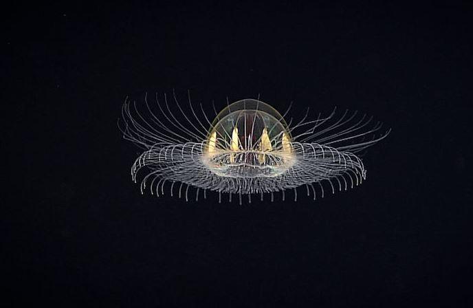 В океане засняли необычную медузу, похожую на космический корабль пришельцев