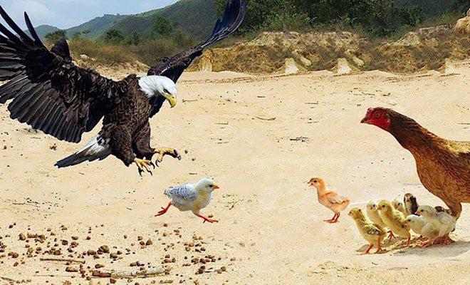 Орел посчитал цыплят легкой целью, но курица встала на защиту и заставила хищника бежать Культура