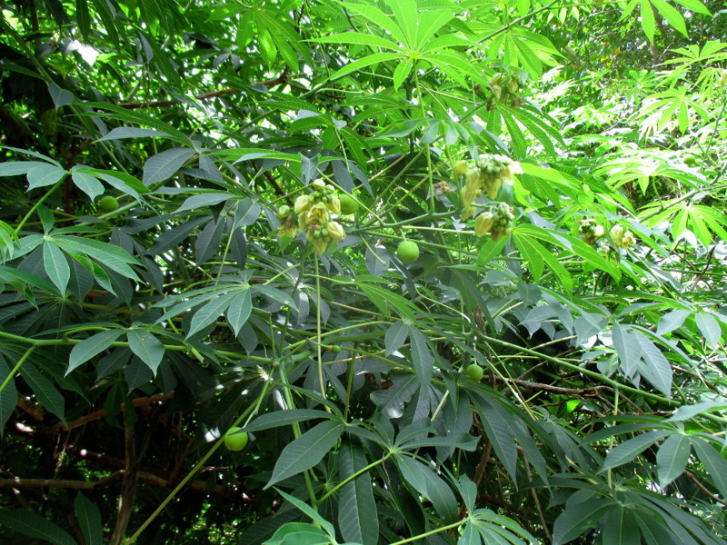 Маниок Экзотические растения, природа, съедобные растения