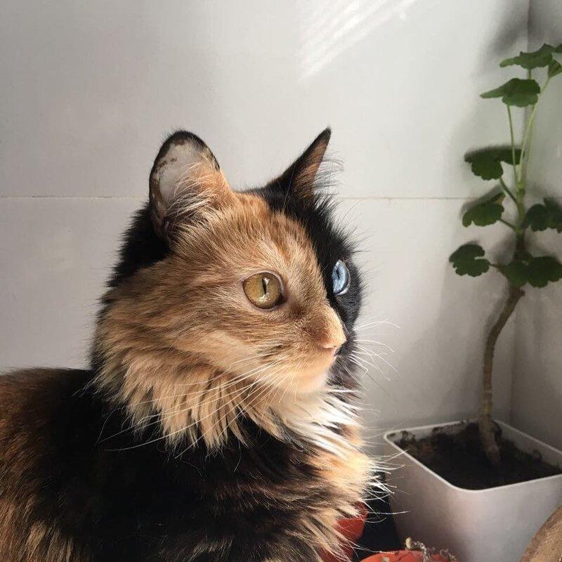 Правая сторона у неё рыжая с золотистым глазом домашний питомец, животные, кошка, красота, окрас, смесь, химера