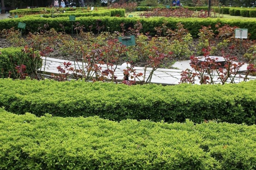 Достойная замена: кустарники, которые можно посадить вместо самшита