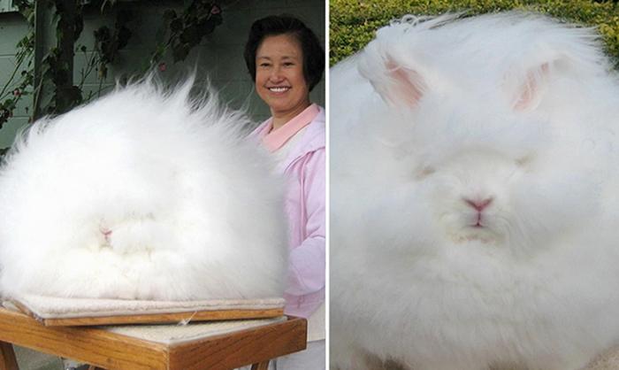 Ангорские кролики, чья пушистость не знает предела