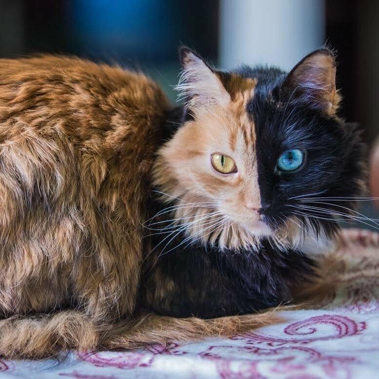 Химера — весьма необычная кошка домашний питомец, животные, кошка, красота, окрас, смесь, химера