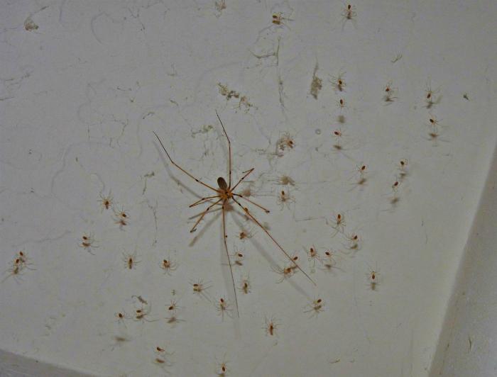 много пауков в доме