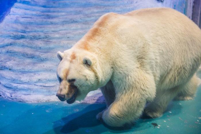 Печальный медведь, живущий в полном одиночестве.