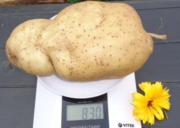 Картофель при любой погоде