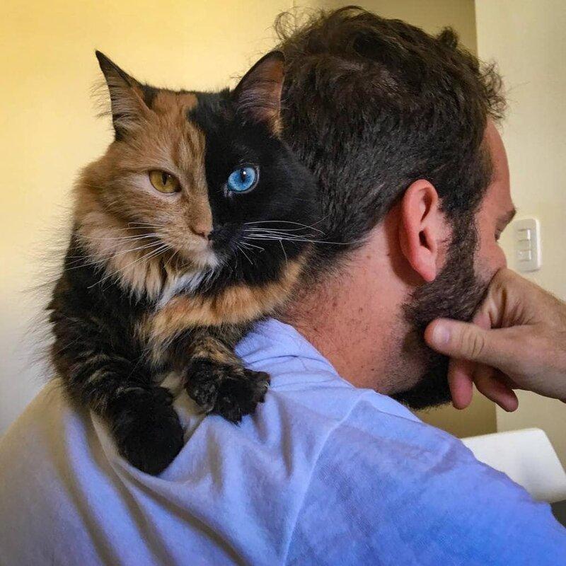 Такие кошки как Химера появляются в результате слияния эмбрионов двух неидентичных близнецов домашний питомец, животные, кошка, красота, окрас, смесь, химера
