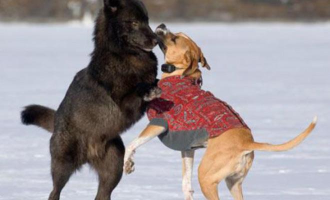 Огромный волк вплотную подошел к собаке: хозяину оставалось лишь наблюдать Культура