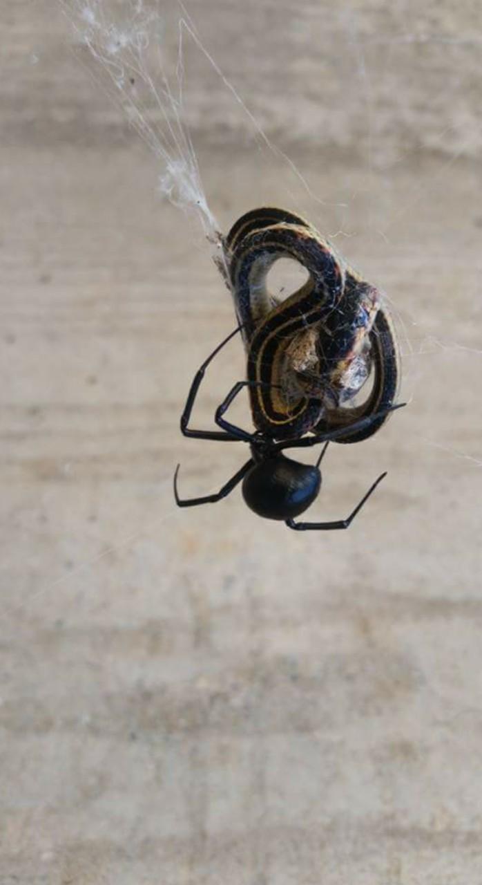 6. Черные вдовы с легкостью ловят змей животные, природа, ужас