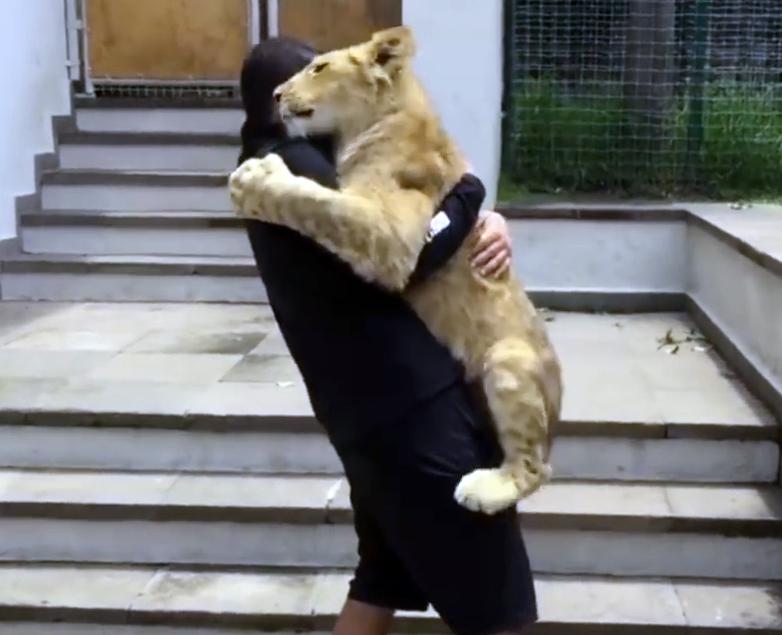 Безграничная нежность! Львенок встречает своего хозяина после разлуки
