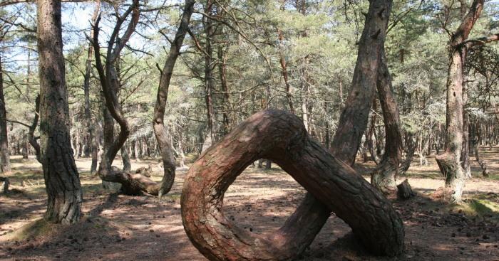 Знаменитое дерево-кольцо, которое не смогло пережить усиленного внимания туристов. /Фото:klops.ru