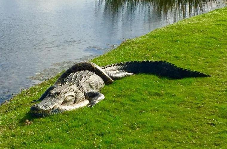 Аллигатор и питон устроили смертельную битву на поле для гольфа