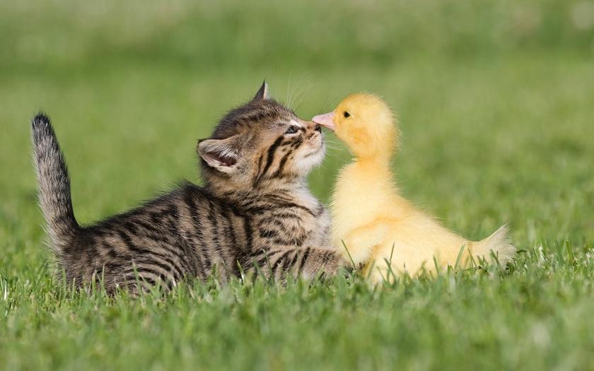 Котенок и гусенок, бои без правил