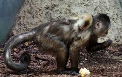 Детеныш капуцина-плаксы родился в Московском зоопарке