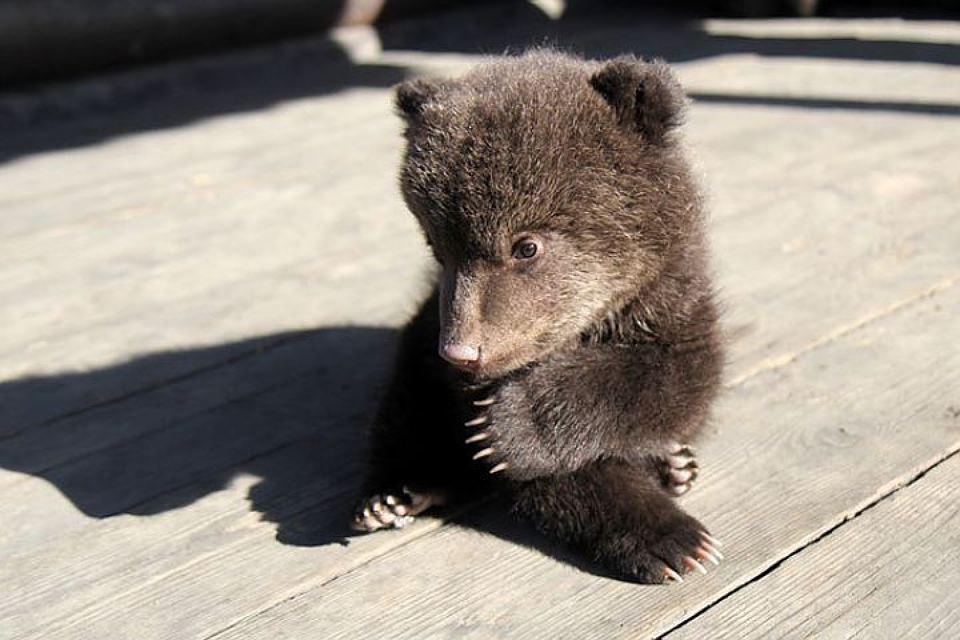 Двух медвежат спасли егеря на севере Иркутской области