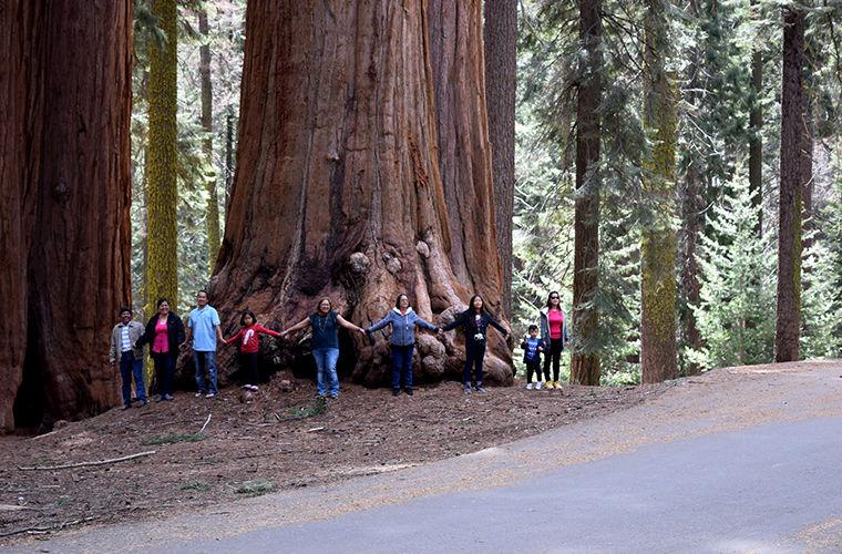 Секвойя: дерево-вождь деревья,интересное,природа,секвойя