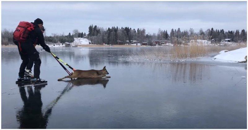 Спасение олененка со льда замерзшего озера
