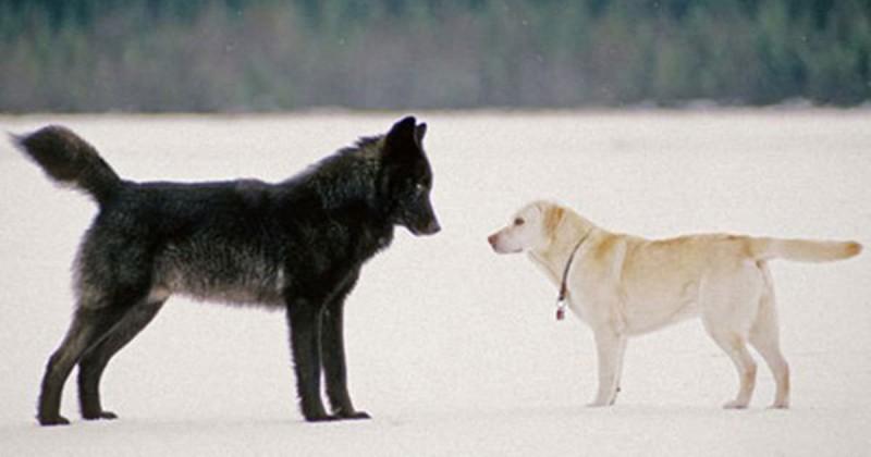 Хозяин с ужасом наблюдал, как волк приближался к его собаке