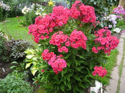 Уход за флоксами. Флоксы: секреты успешного выращивания в саду