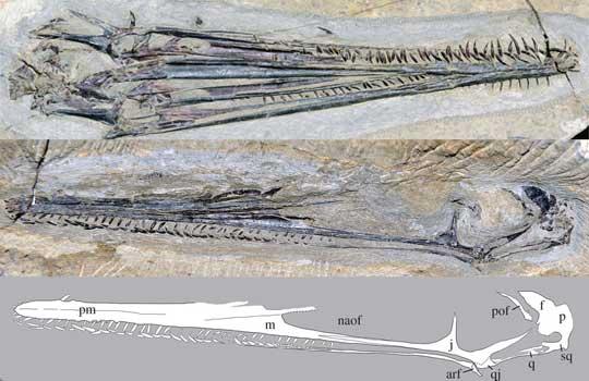 Фламинго юрского периода. Найден первый птерозавр-фильтратор
