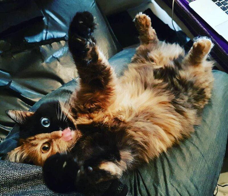 Такое внимание и любовь Химера точно заслужила! домашний питомец, животные, кошка, красота, окрас, смесь, химера