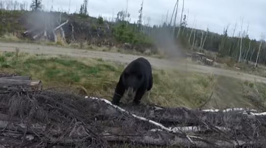 Канадец попытался отбиться от медведя луком и стрелами