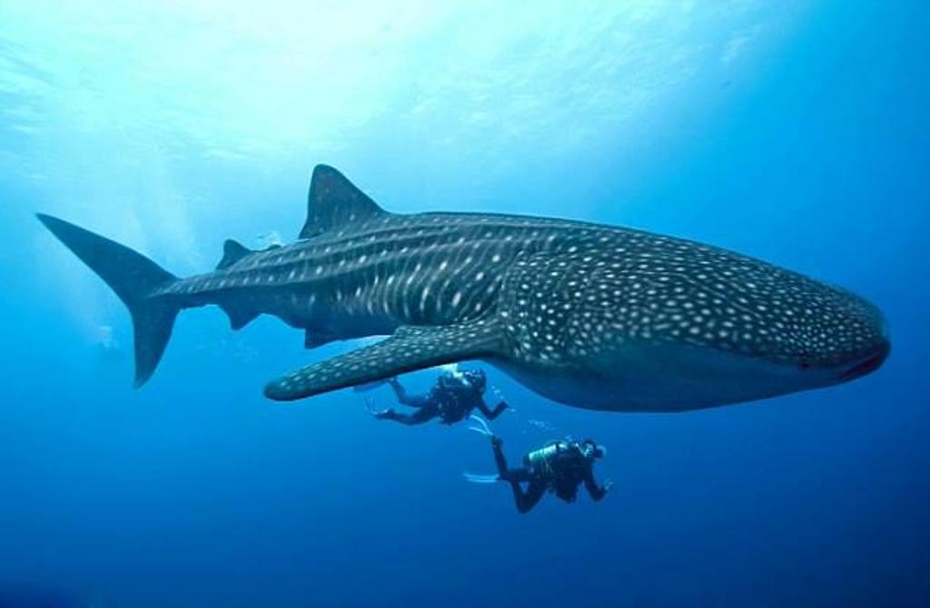 Встреча с китовыми акулами! …