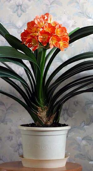 Как вырастить кливию в домашних условиях