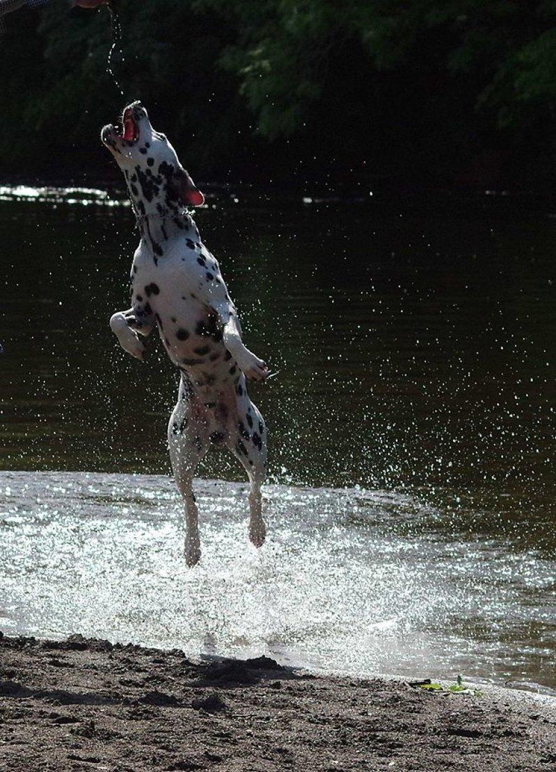 Собаки - расплескаки