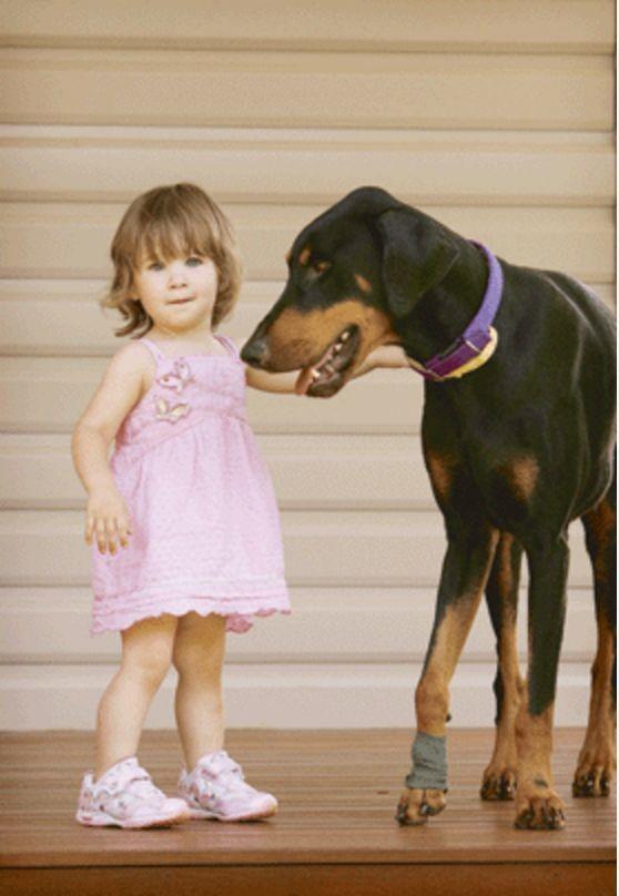 О том как доберман Хан спас 17-месячную дочку хозяина животные, истории, пёс-герой, собаки
