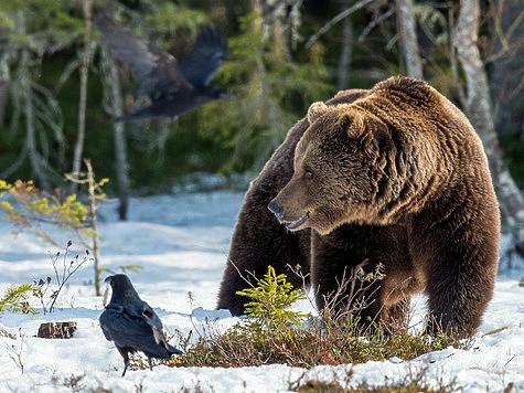 Медвежью охоту осилит не каждый