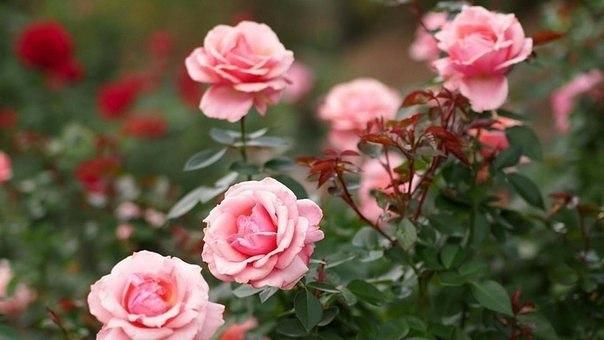 Причины угнетения розы