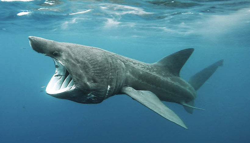 Картинки гигантской акулы