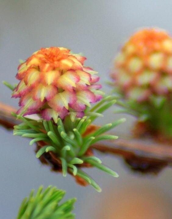 А это бонус-загадка для тех, кто хочет найти что за растение интересное, познавательно, природа, растения, факт, шишки