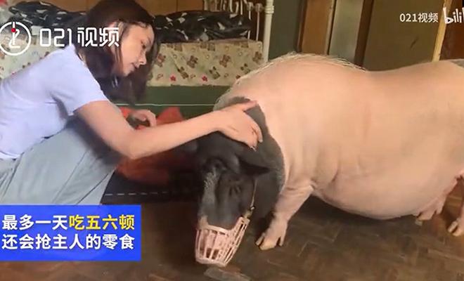 Китаянка думала, что купила мини-пига, но ей продали свинью, которая быстро выросла до 150 кило Культура